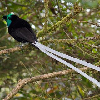 PA 5 ribbon-tailed-astrapia-full-body-ku