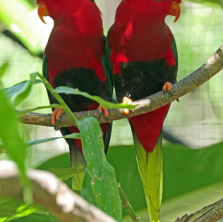 Port Moresby Nature Pk red parrots pair.