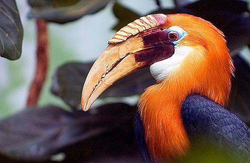 PA 4  Blyths Hornbill.jpg