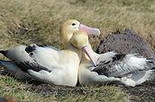 Short-tailed Albatross.jpg