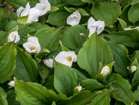 Rescue Trilliums