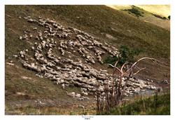 Moutons du Col du Galibier 2
