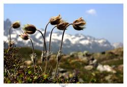 Fleurs sur Les Grandes Rousses