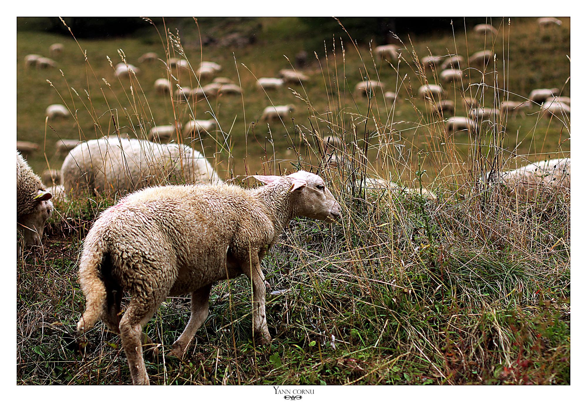 Moutons à Villard Reymond