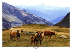 Vaches au Col du Galibier