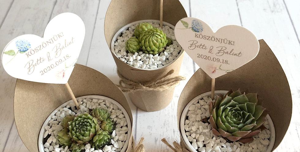 Kövirózsa vagy pozsgás növény mix papír csomagolásban