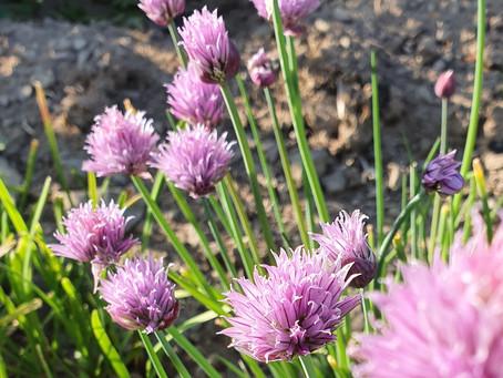 Schnittlauchblüten-Salz