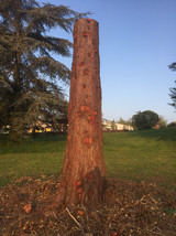Sequoia geant