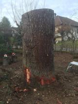 tronc de cèdre