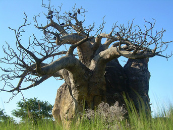 South Africa: Baobab Trees Hold Up to 1000 Years of Rainfall Records