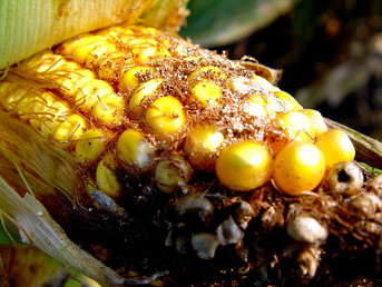 Kenya: US $4 Million Project Underway to Control Lethal Maize Disease