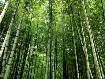 Bamboo absorbs carbon, is cheap, can replace concrete & steel and can even be used to build high