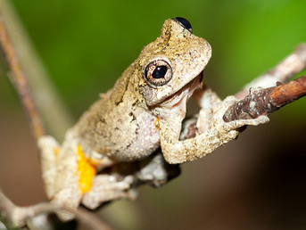 Grey Treefrogs Reveal New Clues about Climate Change