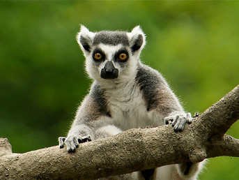 One Man's Mission to Save Madagascar's Lemurs