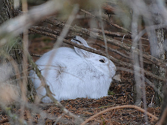 Evolutionary Clock Ticks for Snowshoe Hares Facing Climate Change
