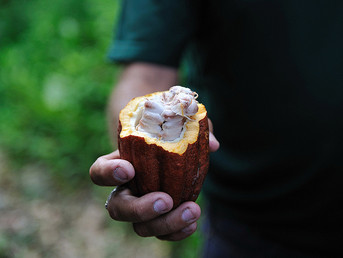 Toward Climate-Friendly Cacao Supply Chains