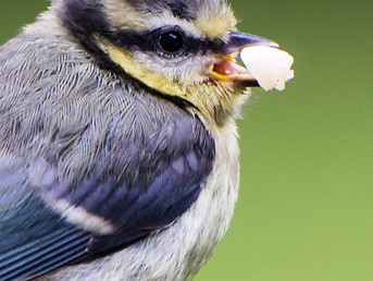 Audio: Seed-Scattering Birds May Help Trees Cope with Climate Change