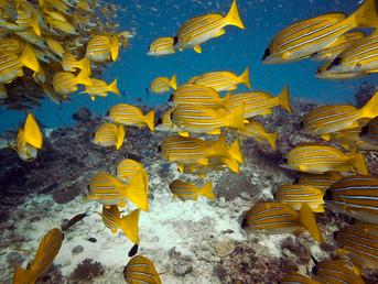 Lost at sea: Rising Ocean CO2 Intoxicates Fish
