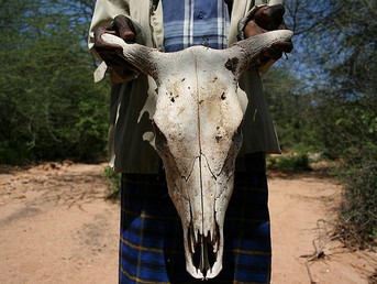 Zimbabwe: Drought Takes a Toll on Cattle