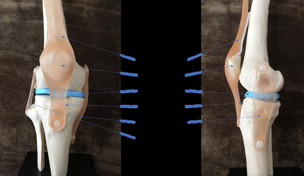 膝関節モデル
