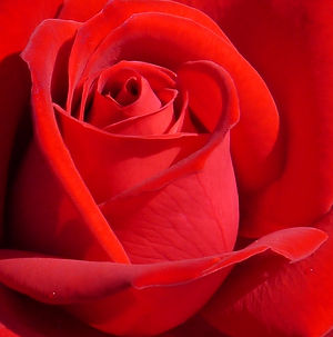 Beautiful-red-rose-from-the-UBC-Rose-Gar