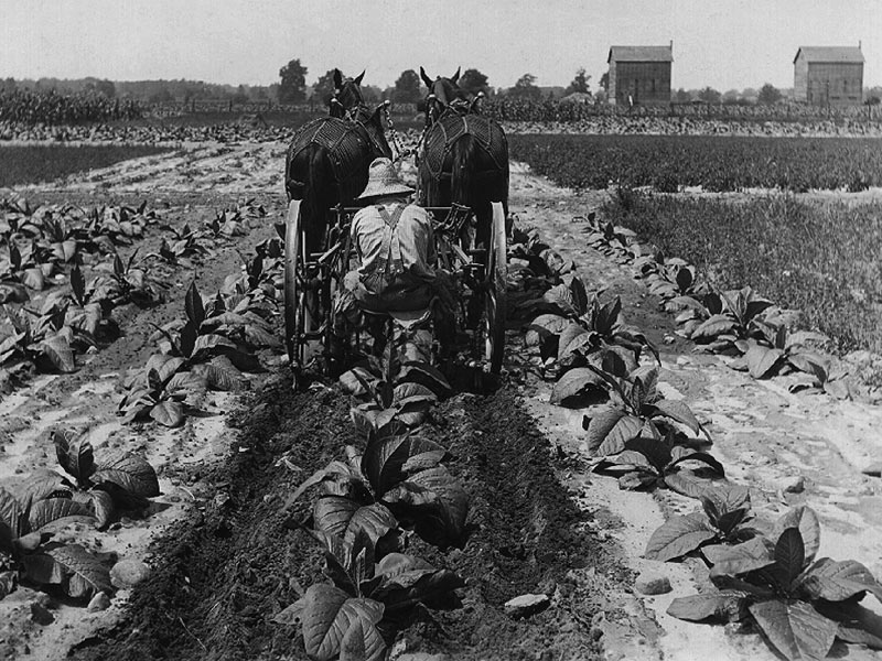 Cultivating-tobacco-circa-1930