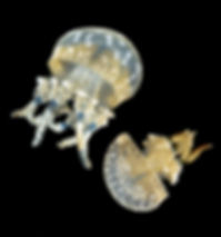 Jellyfish%20pic%20for%20website%201.jpg