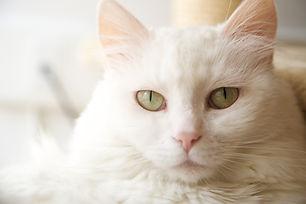Hvit katt