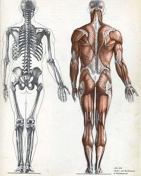 esqueleto musc..jpg