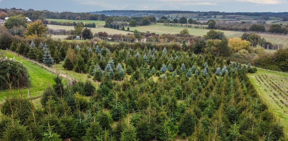 Tibbs Farm Christmas Trees.JPG