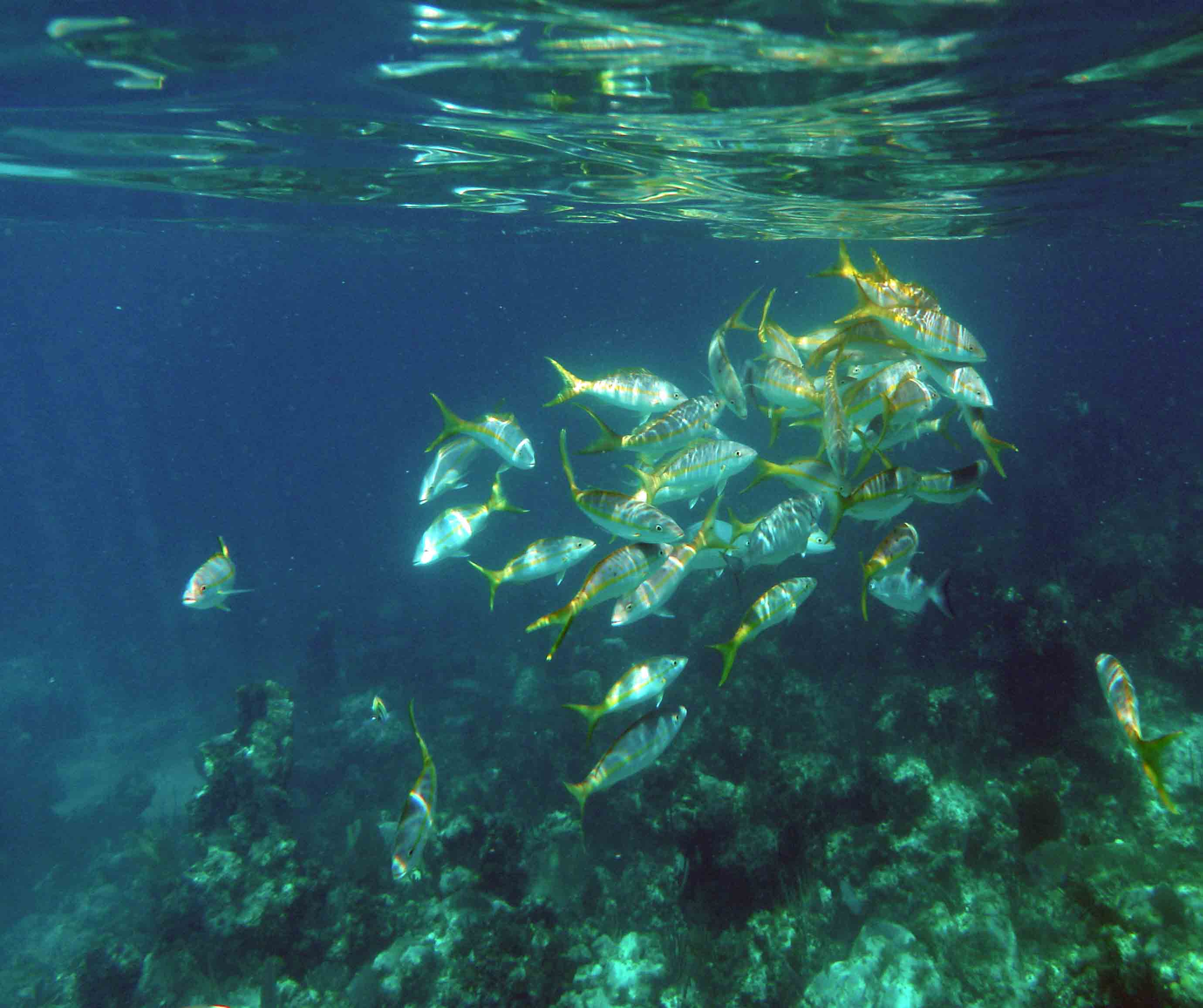 yellowtail swarming