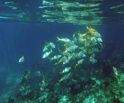 yellowtail swarming