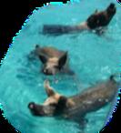 swimmingwithpigs1_edited_edited_edited_e