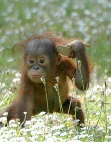 orang outang dans les fleurs.jpg