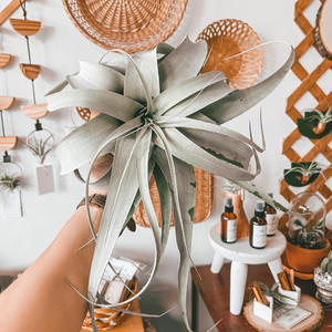 All You Need to Know About Air Plants