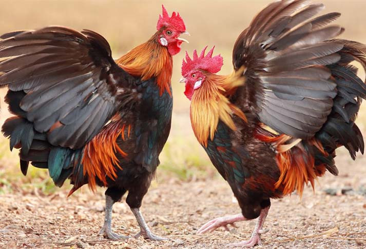Đá gà tại Nhà cái JP88. |JP88
