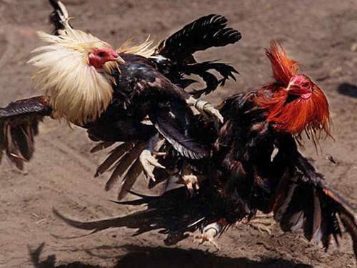 Đá gà trực tiếp ở Việt Nam