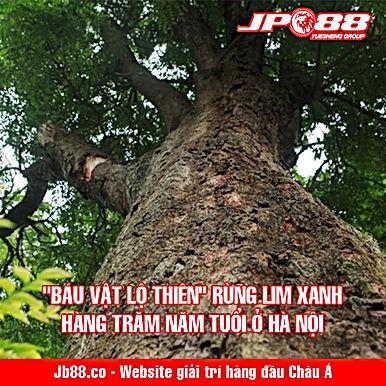 """""""Báu vật lộ thiên"""" rừng lim xanh hàng trăm năm tuổi ở Hà Nội"""