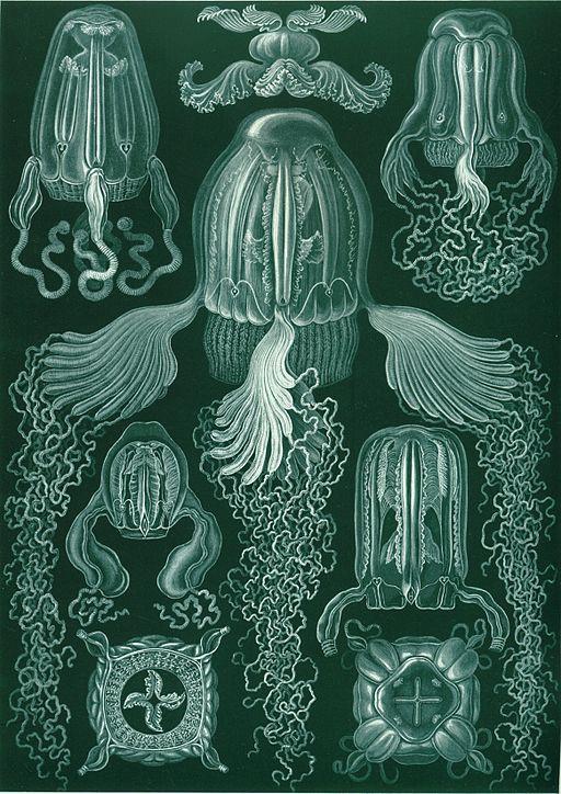 "Kubmaneter i verket ""Cubomedusae"", från Ernst Haeckels Kunstformen der Natur, 1904"