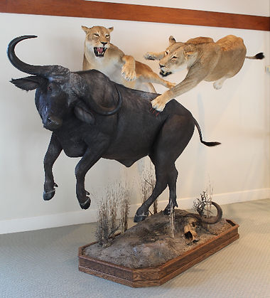 African Lion and Cape Buffalo World Class Taxidermy - Artistic Visions Wildlife