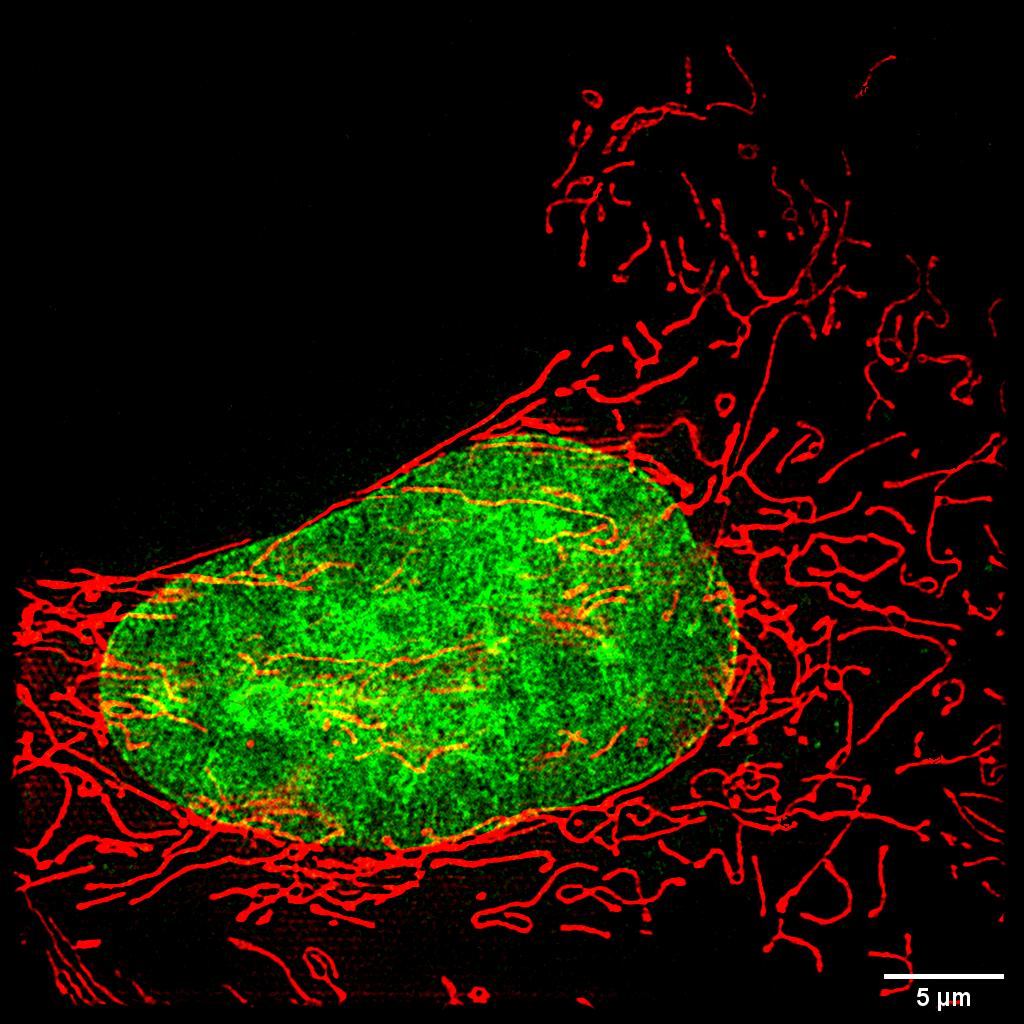 Mitochondria (SIM)