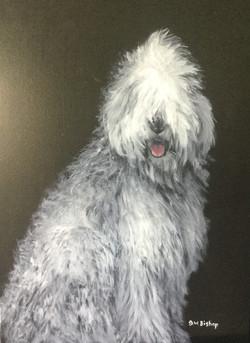 #372  Old English Sheep dog