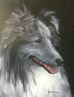 #373 Shetland Sheep dog