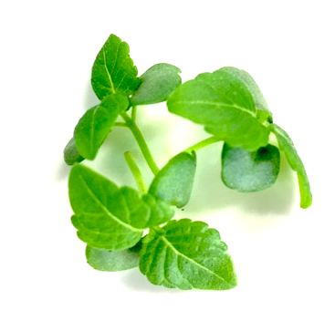 shiso vert