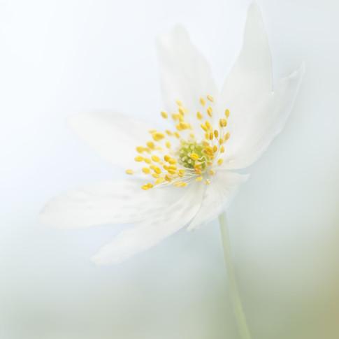 Woodland Anemone