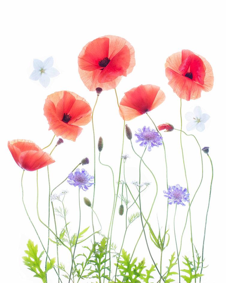 Poppy Garden sm.jpg