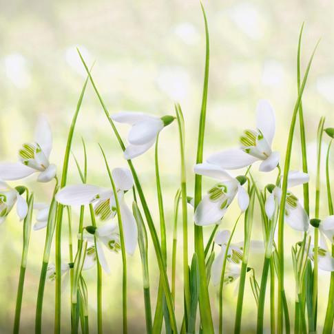 Snowdrop Meadow