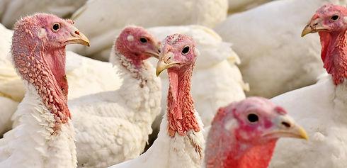 turkeys-2799813_1920 (1).jpg