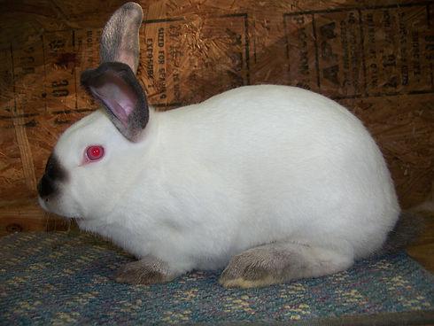 Rabbits-for-Sale.jpg