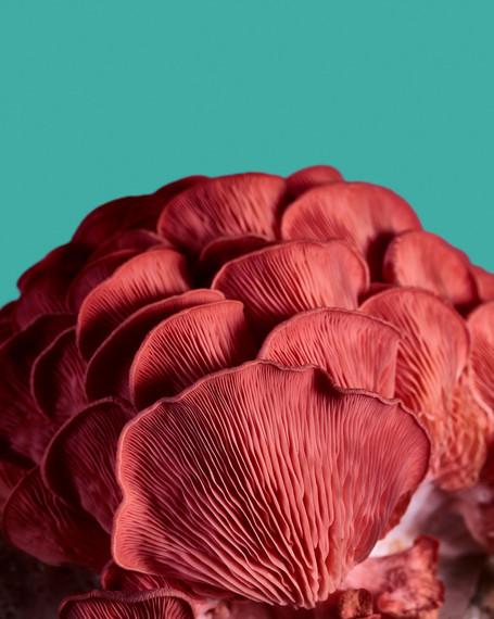 20210317_Mushrooms_PinkOyster_Shot_03_Ha